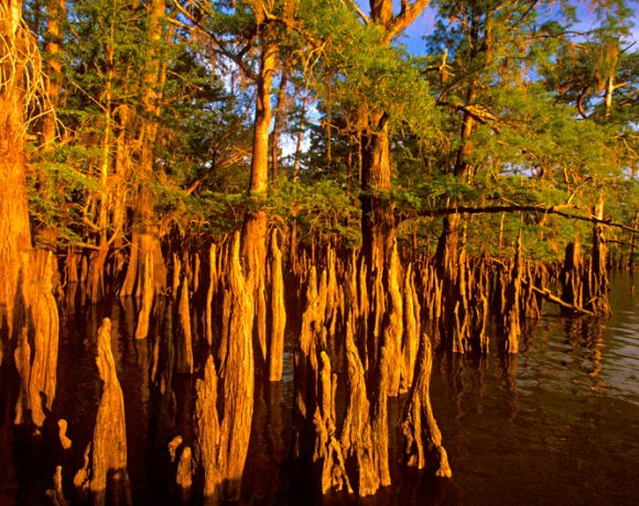 cypress-swamp-jim-olive